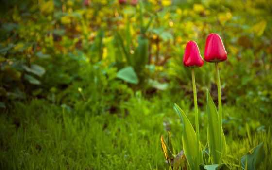 тюльпаны, cvety, весна, трава, поляна, природа, tapety, darmowe, pulpit,