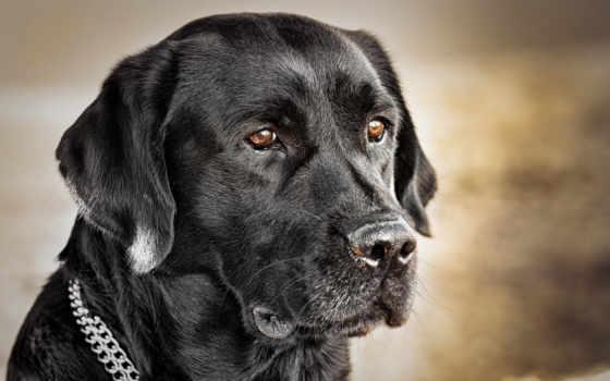 labrador, собаки, породы, кличке, retriever,