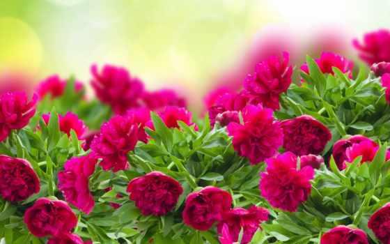 cvety, пион, природа, абонент, красивый, subscribe, animal, color