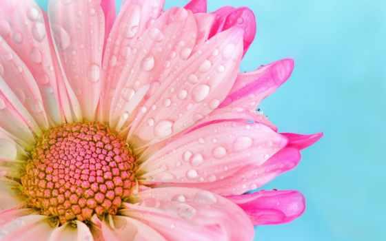 , daisy, розовый, растение, природа, красавица