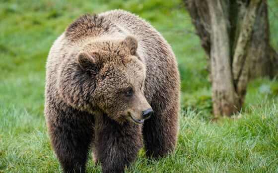медведь, ipad, браун, ursus