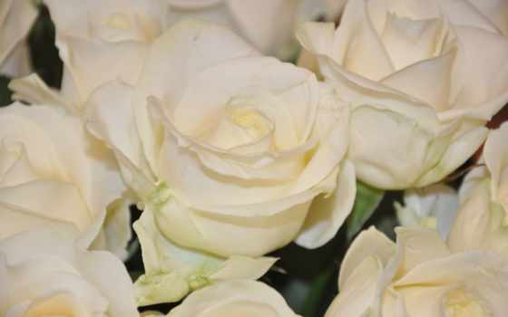 розы, цветы, white Фон № 56698 разрешение 4288x2848