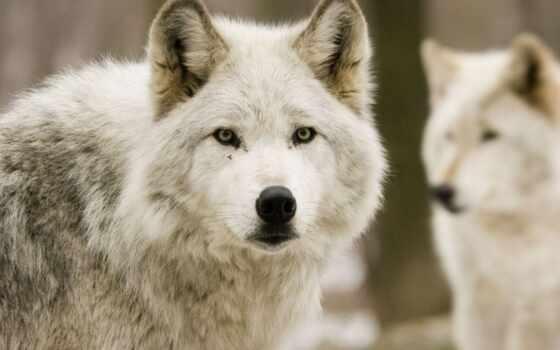 волки, волков, лес