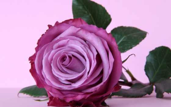 роза, цветы, красивые, темно, fone, розовая, только, каждый, разрешениях,