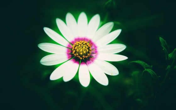 daisy, цветы, white, flowers, bloom, лепестки, free, resolutions,