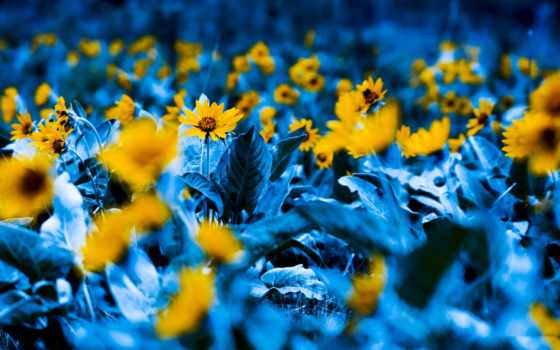 flowers, blue, yellow, garden, cvety, цветы, подсолнух,