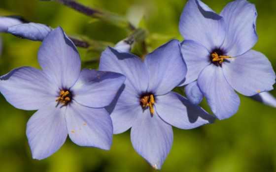 periwinkle, flowers, blue, desktop,