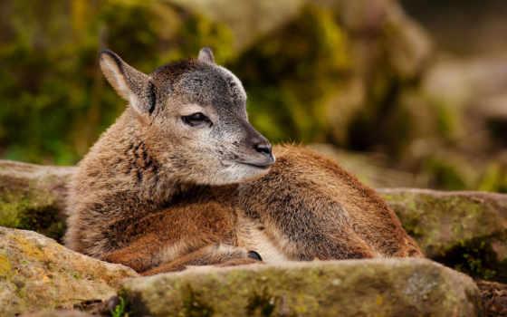 deer, животные, gambar, rusa, ваше, без, регистрации,