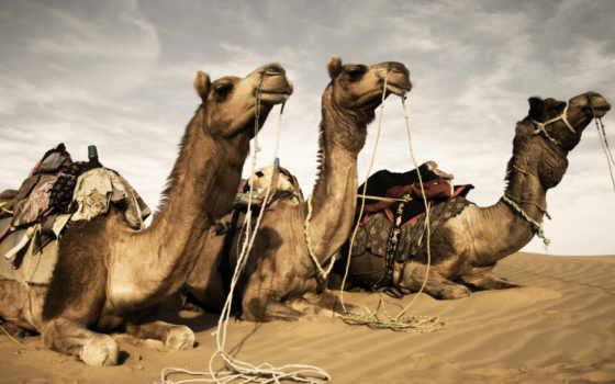 camel, camels, три, пустыня, photos, stock, мужчина, men,