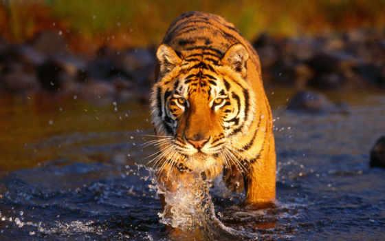 обои, тигр, tiger, фото, wallpaper, большая, бенга
