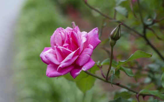 часть, коллекция, картинок, лепестки, бутон, свежий, пак, классных, роза,