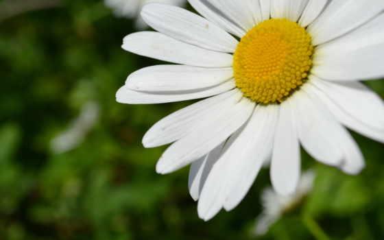 цветы, white, yellow