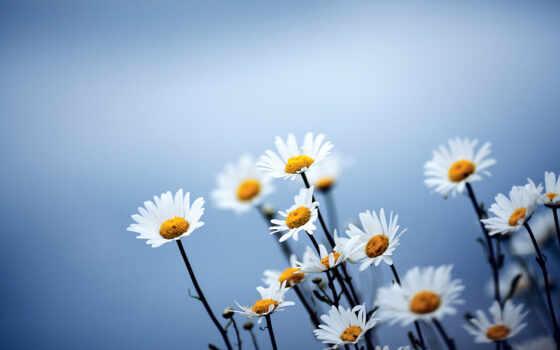 cvety, ромашки, синий, мелкие, голубой, красивые, полевые,