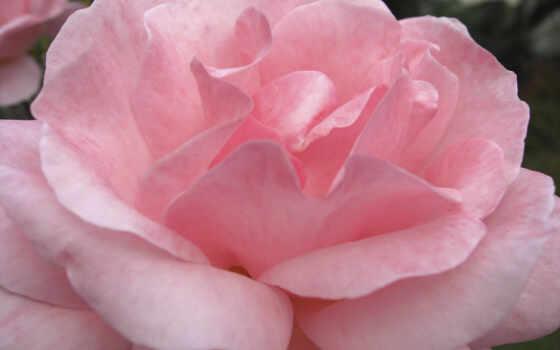 роза, cvety, нежная