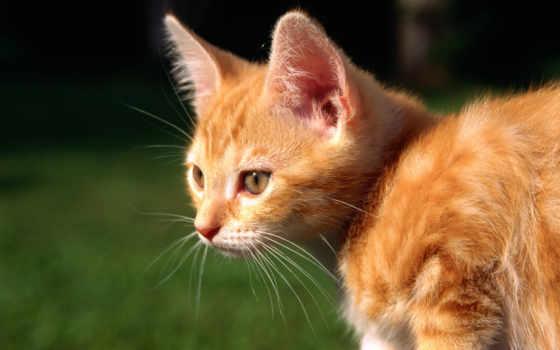 red, кот, котенок
