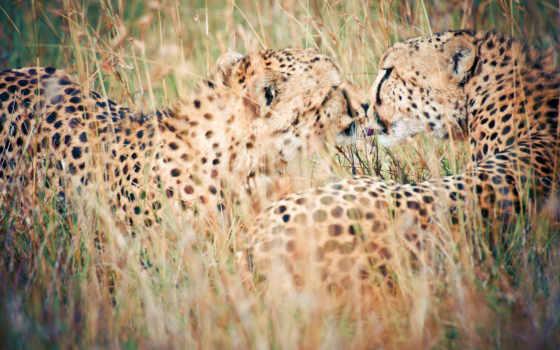 гепард, изображение, size