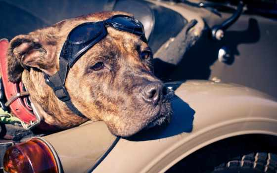 собака, очки, мотоцикл, ошейник, amstaff, собаки, взгляд, zhivotnye, трава,