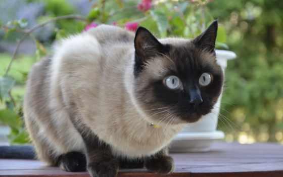 кошек, кошки, породы