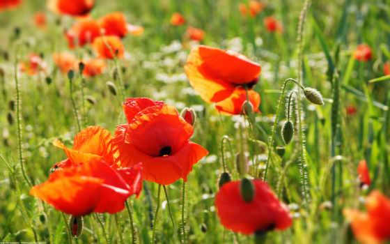 cvety, маки, поле, красивые, небо, зелёный, букет, клумба, разные, георгины,