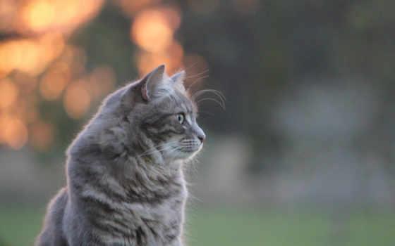 kot, кот, серый