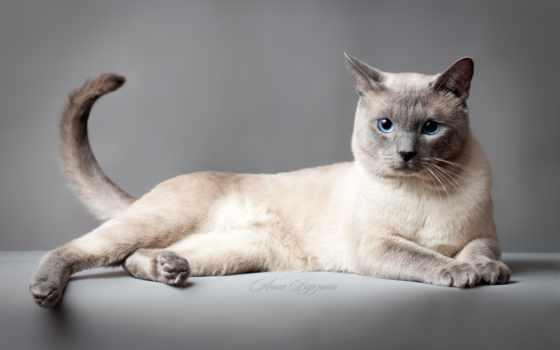 кошка, kot, качестве, кошек, высоком, тайская,