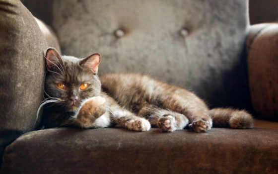 ,кот, british, кресло, shorthair, смотрит,