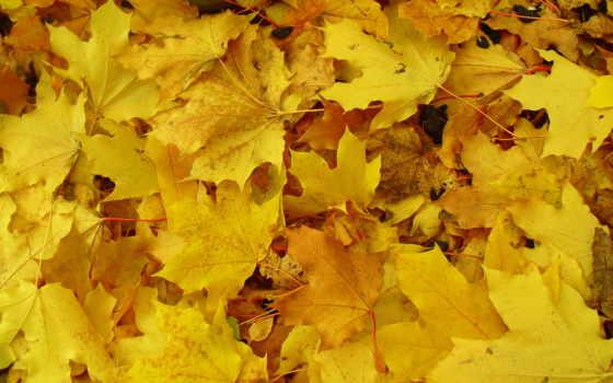 листва, осень, yellow, кленовые, макро, красивые, land, ввц,