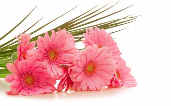 цветы, герберы, розовые, gerbera,