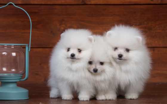 шпиц, zhivotnye, картинка, white, собаки, теме, щенок, красивые, goodfon,