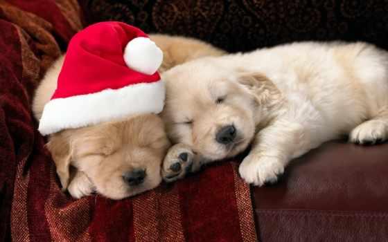 новогодние, собаки, щенки, ретривер, собачки, christmas, животные, праздник, золотистый, cute, праздники, santa, sleeping, новогодний, puppies, mikoaja, pies, czapka,