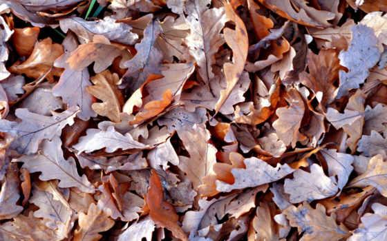 листья, коричневые, сухие, осень, картинка,