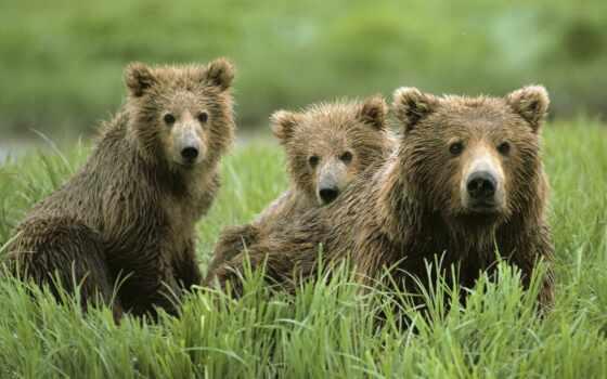 медведи, животные, бурые, гризли,