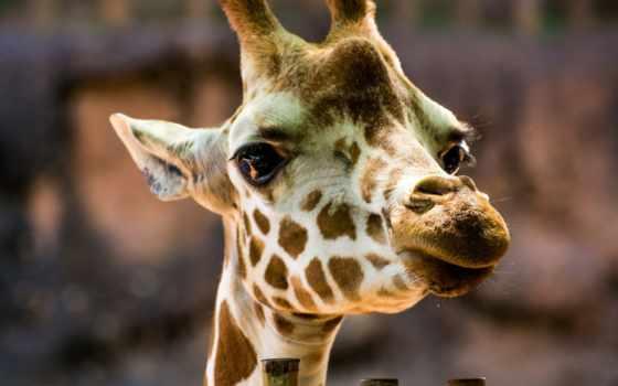 жираф, категории, телефон, животные, голова,