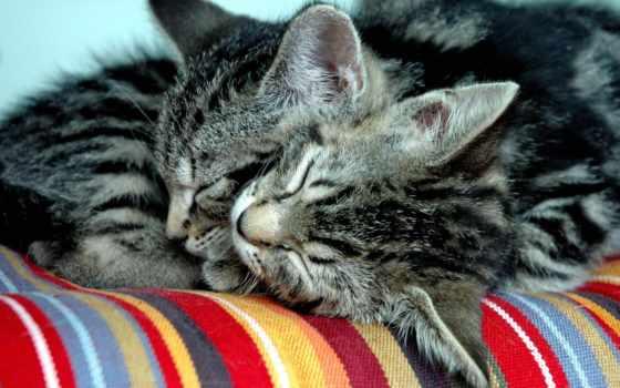 котята, спят, dva, котенка, рядом, серых, cats, ра, котят, коты,