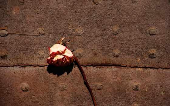 withered, роза, цветы, roses, flowers, розовый,