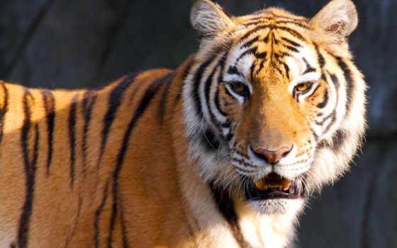 тигр, тигры, тигрица, картинка, zhivotnye, большой, тигра, столаs, леопард, рисунок,