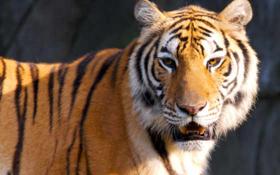 тигр, тигры, тигрица