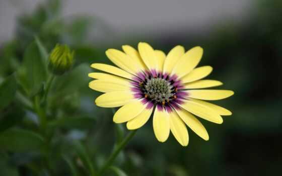 daisy, cvety, цветы, взгляд, добавить, анимация, african, website, остеоспермум, комментарий