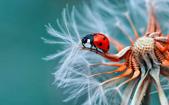 animal, коровка, god, одуванчик, насекомое, красивый, картинка, цветы