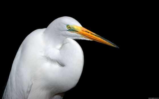 белая, птица, обои, цапля, большая, животные, бело