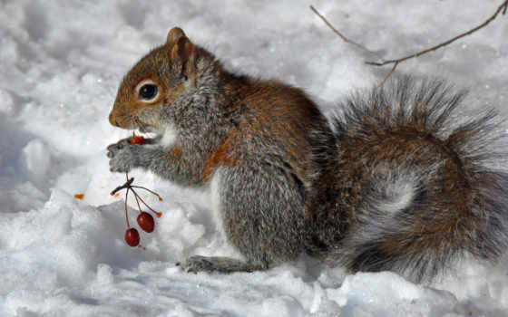 зима, белка, ягоды