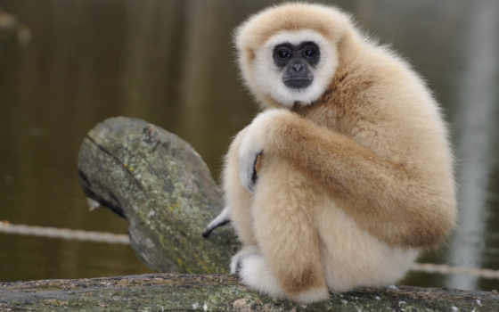 обезьяны, обезьяна, красивые