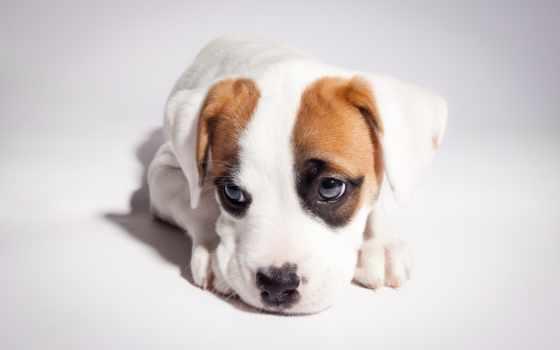 boxer, питбуль, mix, щенок, pitbull, собака, взгляд,
