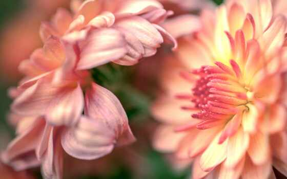 цветы, chrysanthemum, makryi, plan, лепесток, бутон, ночь, хороший, awesome, большой
