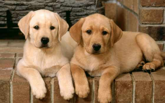 labrador, dogs