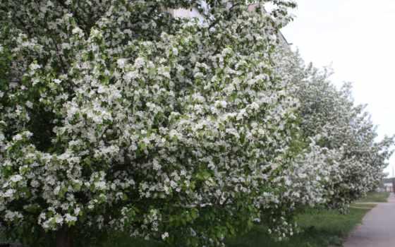 яблоня, цветы, белый