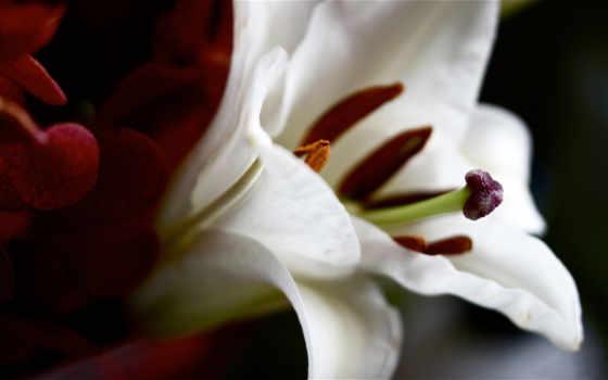 lily, крупным, красавица