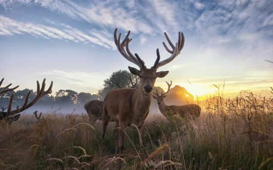 природы, природа, олени, красавица, дикой, дикая, rub, рассвет,