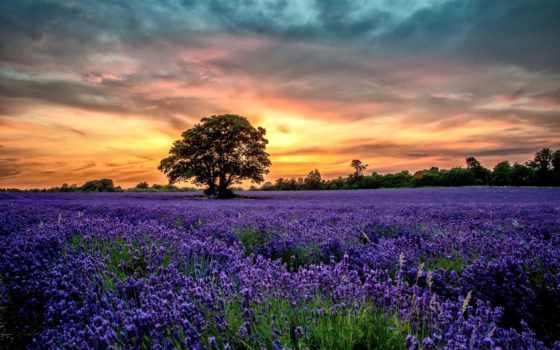 поле, lavender, лаванды