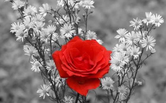 роза, красная, чёрно, белой, among, цветы, растительности, чб,